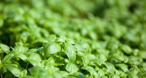 Du Basilic au Pesto : l'or vert de Gênes